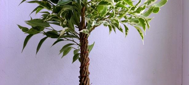 Ficus-benjamina11